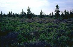 View a larger version of this image (jpg).  (Basin bog)