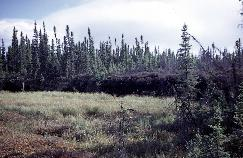 View a larger version of this image (jpg).  (Peat plateau bog )