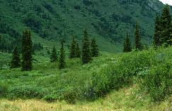 View a larger version of this image (jpg).  (Subalpine forest)